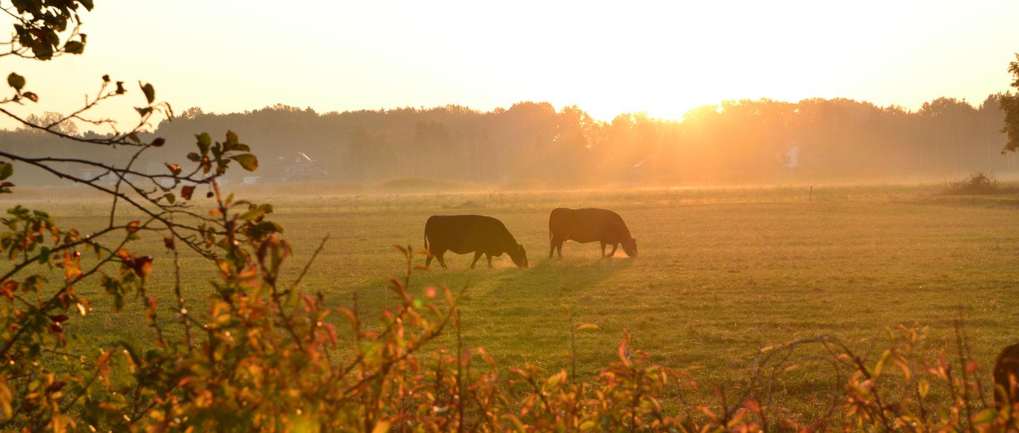 Die Kühe geniessen die letzten sonnigen Herbsttage